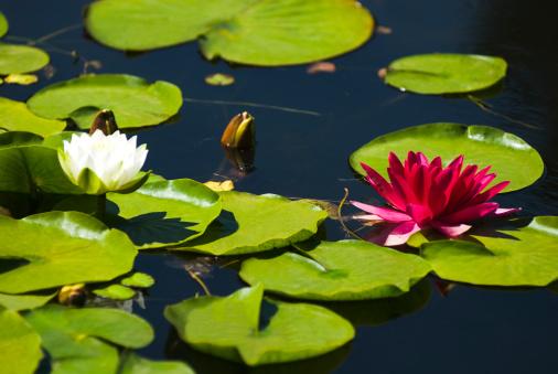 Water Lily「Water lilies」:スマホ壁紙(15)