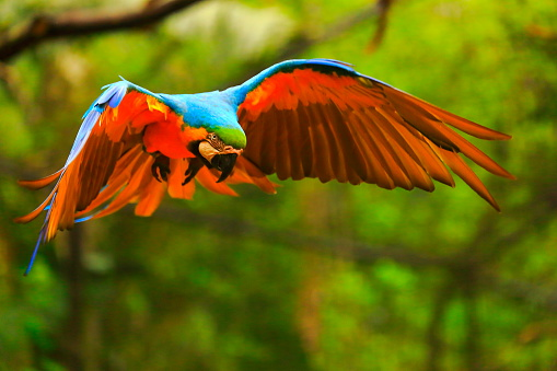 Beak「Blue yellow macaw BIRD flying, spread wings, brazilian amazon rainforest」:スマホ壁紙(4)