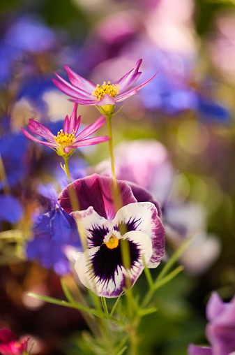 コスモス「Two Cosmos Flowers, Blue Lobelia and Pansies」:スマホ壁紙(9)