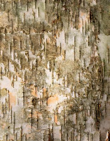 Bark Paper「Birch Tree Bark Detail」:スマホ壁紙(16)