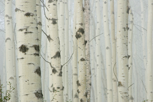 Plant Bark「Birch tree forest in morning fog」:スマホ壁紙(10)