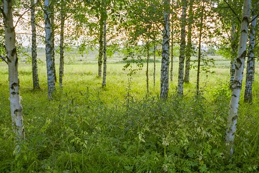 Grove「Birch tree grove at dusk」:スマホ壁紙(18)