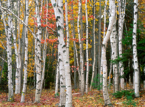 Grove「Birch Tree Grove in Autumn Colors」:スマホ壁紙(0)