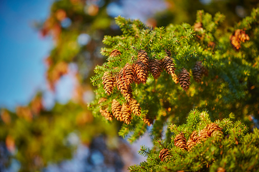 Pine Cone「Pine Tree with Pine Cones in Autumn Fall」:スマホ壁紙(4)