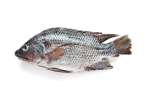 魚「Tilapia 釣り」:スマホ壁紙(13)