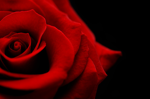 Extreme Close-Up「flower, red rose bud against black」:スマホ壁紙(8)