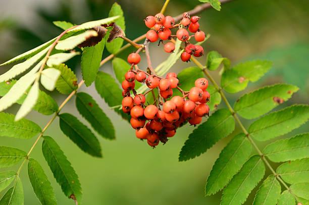Rowanberry on the tree:スマホ壁紙(壁紙.com)