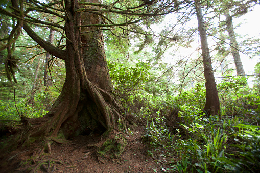 Miami Beach「A hollow old growth giant redwood tree along the path to South Beach in Pacific Rim National Park near Tofino; British Columbia, Canada」:スマホ壁紙(12)