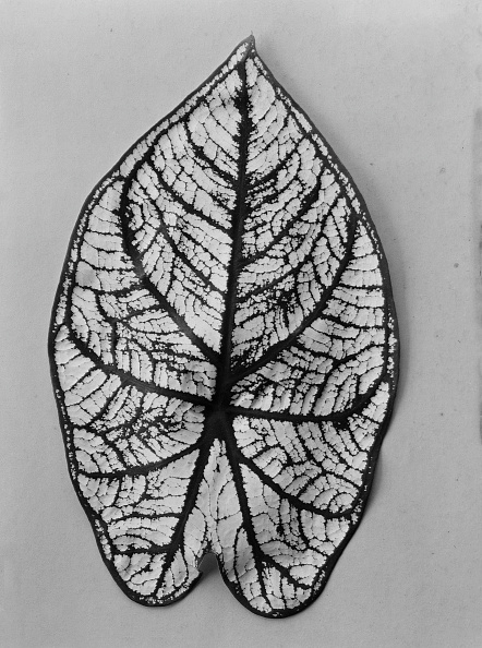 葉・植物「Anthurium Leaf」:写真・画像(8)[壁紙.com]