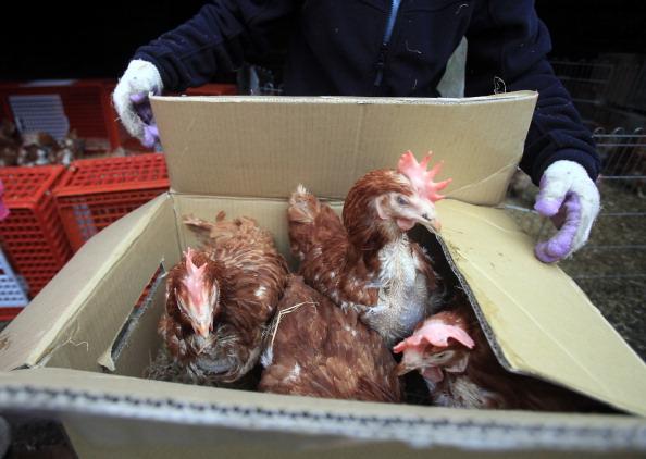 Hen「Britain's Last Battery Hen Is Released」:写真・画像(3)[壁紙.com]