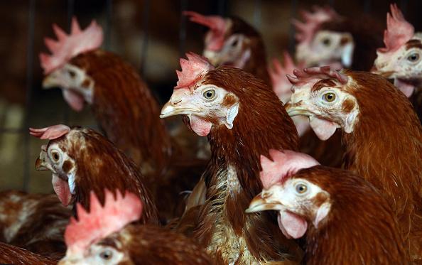 Hen「Britain's Last Battery Hen Is Released」:写真・画像(1)[壁紙.com]