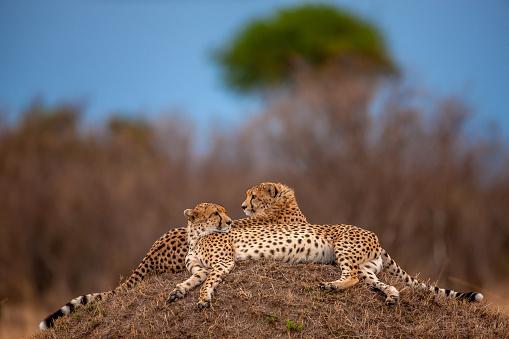 African Cheetah「The posture of two adult cheetahs (Acinonyx jubatus) resting at plain」:スマホ壁紙(3)