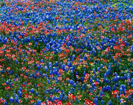 花畑「multicololored 野花、レッドエフデグサとブルー bluebonnets 、テキサスのフィールド」:スマホ壁紙(12)
