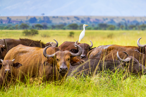 Queen Elizabeth National Park「Buffalo herd in Queen Elizabeth National Park Uganda Africa」:スマホ壁紙(3)