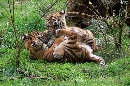 虎「Sibirien Tiger」:スマホ壁紙(19)
