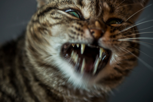 Animal Whisker「Angry cat showing teeth」:スマホ壁紙(11)