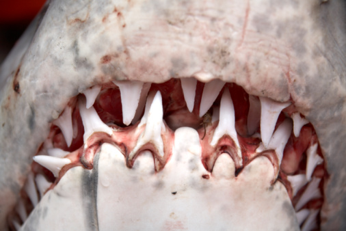 Queensland「Teeth in mouth of Great White Shark」:スマホ壁紙(10)