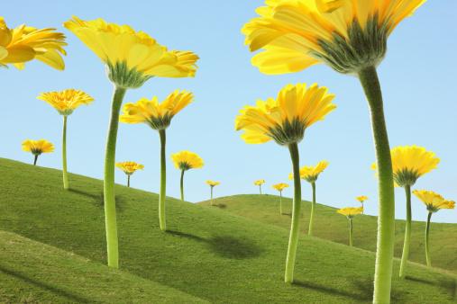 Fantasy「Large Flowers (Gerber Daisies) in Green Hills」:スマホ壁紙(3)