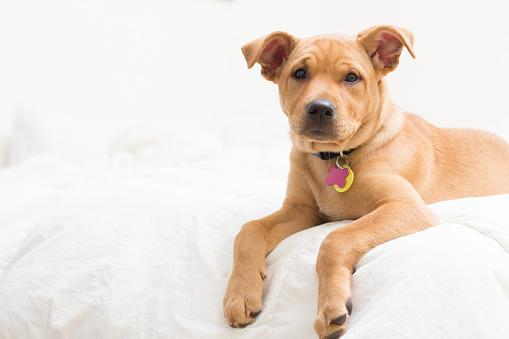 Three Quarter Length「Labrador terrier mix Puppy dog  lying on bed」:スマホ壁紙(7)
