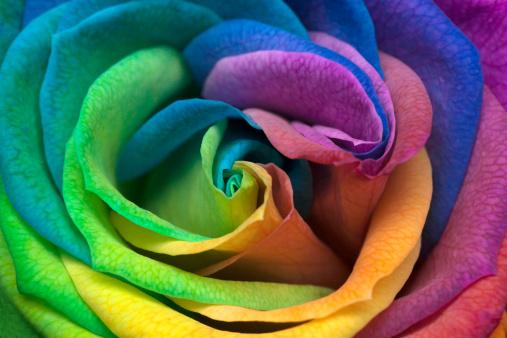 花「インドネシアジャカルタ、レインボー Rose のクローズアップ」:スマホ壁紙(4)