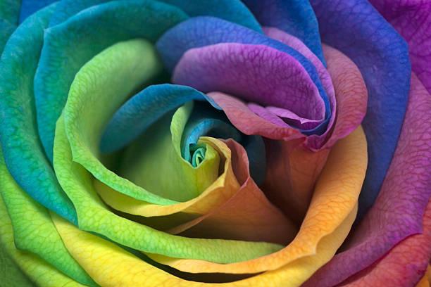 インドネシアジャカルタ、レインボー Rose のクローズアップ:スマホ壁紙(壁紙.com)