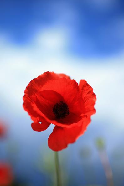 Poppy - Plant「Poppies Grow In Fields Ahead Of Centenary Of WW1」:写真・画像(16)[壁紙.com]