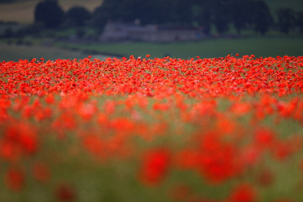 Agricultural Field「Poppies Grow In Fields Ahead Of Armed Forces Day」:写真・画像(9)[壁紙.com]