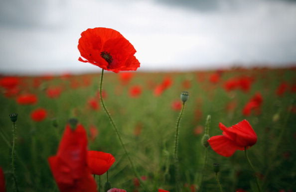 flower「Poppies Grow In Fields Ahead Of Armed Forces Day」:写真・画像(3)[壁紙.com]