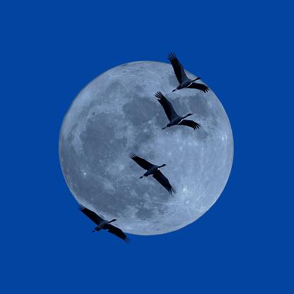 月「The black necked Crane under the moon」:スマホ壁紙(9)