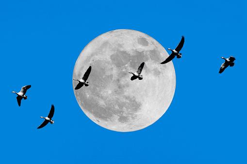 月「The black necked Crane under the moon」:スマホ壁紙(8)