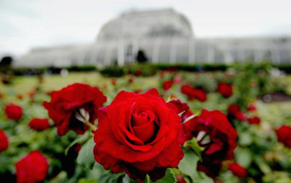 薔薇「Kew Gardens Awarded World Heritage Site Status」:写真・画像(7)[壁紙.com]
