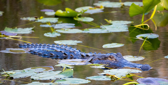 Water Lily「Alligator lurking amongst Lily Pads in the Florida Everglades」:スマホ壁紙(12)