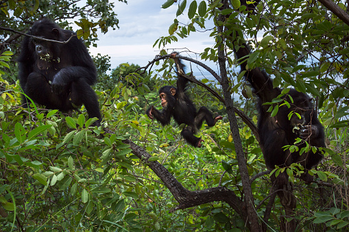 Arboreal Animal「Eastern chimpanzee female twins 'Golden' and 'Glitter' aged 15 years and their babies feeding on Songati pods」:スマホ壁紙(5)