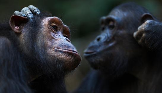 Grooming - Animal Behavior「Eastern chimpanzee twins 'Golden' and 'Glitter' aged 14 years grooming」:スマホ壁紙(10)