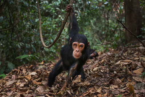 Arboreal Animal「Eastern chimpanzee infant male 'Fifty' aged 3 years swinging from a liana」:スマホ壁紙(7)
