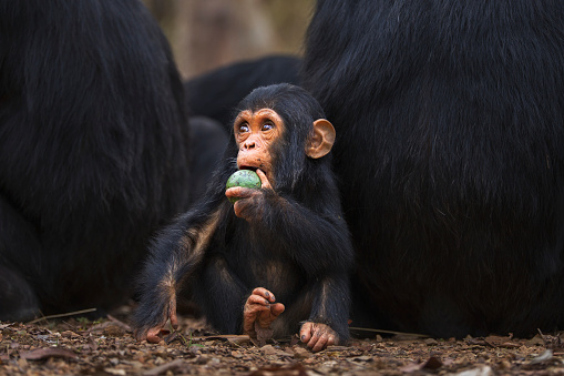 Eating「Eastern chimpanzee infant male 'Fifty' aged 1 year playing with a fruit among a group of adults」:スマホ壁紙(10)