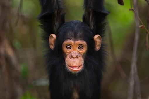 Arboreal Animal「Eastern chimpanzee infant male 'Duke' aged 2 years playing」:スマホ壁紙(4)