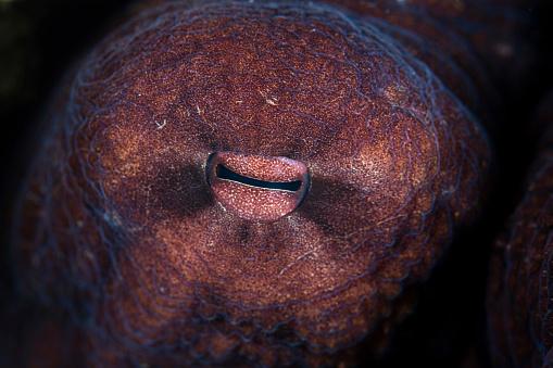 Iris - Eye「Detail of the eye of an octopus (Octopus cyanea) in Indonesia.」:スマホ壁紙(7)