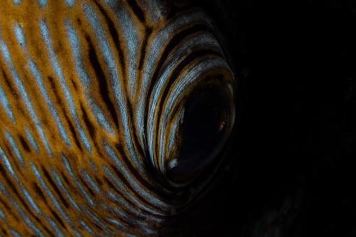 Iris - Eye「Detail of the eye of a blue-spotted pufferfish.」:スマホ壁紙(4)