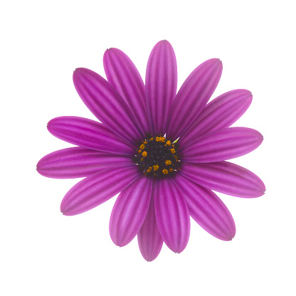 Sensory Perception「Purple osteospermum, or African daisy, on white.」:スマホ壁紙(18)