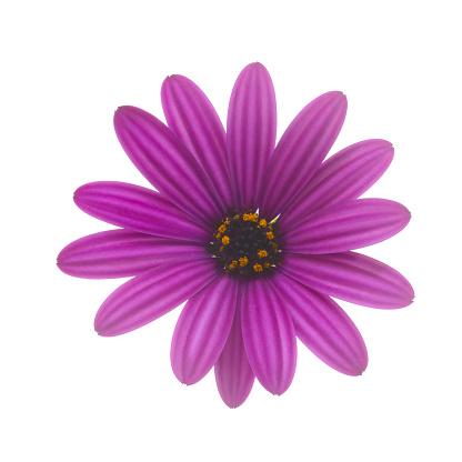 Sensory Perception「Purple osteospermum, or African daisy, on white.」:スマホ壁紙(10)