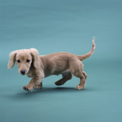 Animal Ear「A beige small dachshund walking」:スマホ壁紙(2)