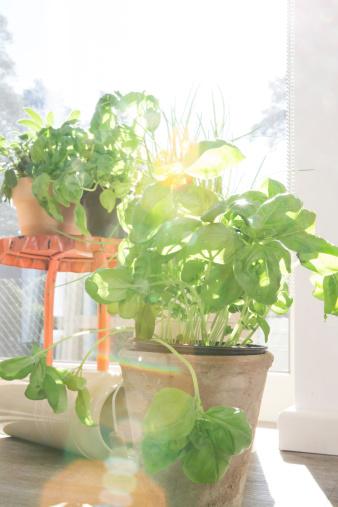 植物「Pot with basil at sunny window」:スマホ壁紙(10)