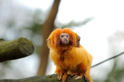 Amazon Rainforest「Golden lion tamarin」:スマホ壁紙(2)