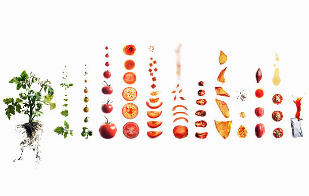 Tomato dissection: from plant to ketchup.:スマホ壁紙(壁紙.com)