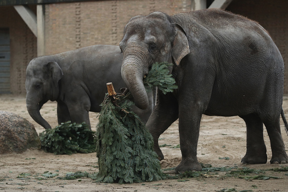 Obsolete「Elephants Snack On Christmas Trees At Berlin Zoo」:写真・画像(7)[壁紙.com]