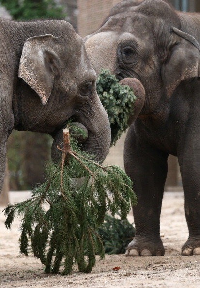 Christmas Decoration「Elephants Munch On Christmas Trees At Berlin Zoo」:写真・画像(13)[壁紙.com]