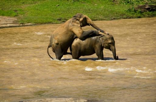 Animals In The Wild「Elephants mating in river, Sri Lanka」:スマホ壁紙(0)