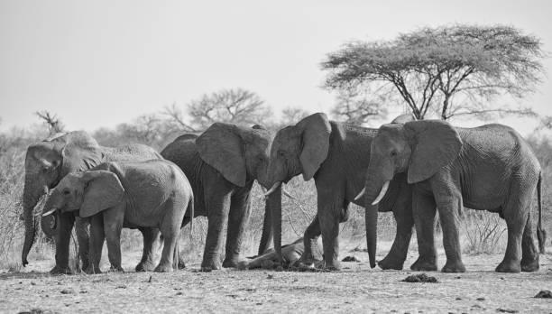 Elephants Mourning Dead Baby:スマホ壁紙(壁紙.com)