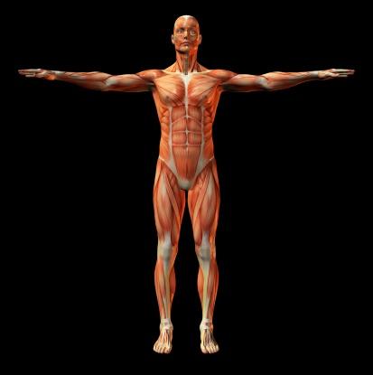 Muscular Build「Human muscle structure」:スマホ壁紙(10)